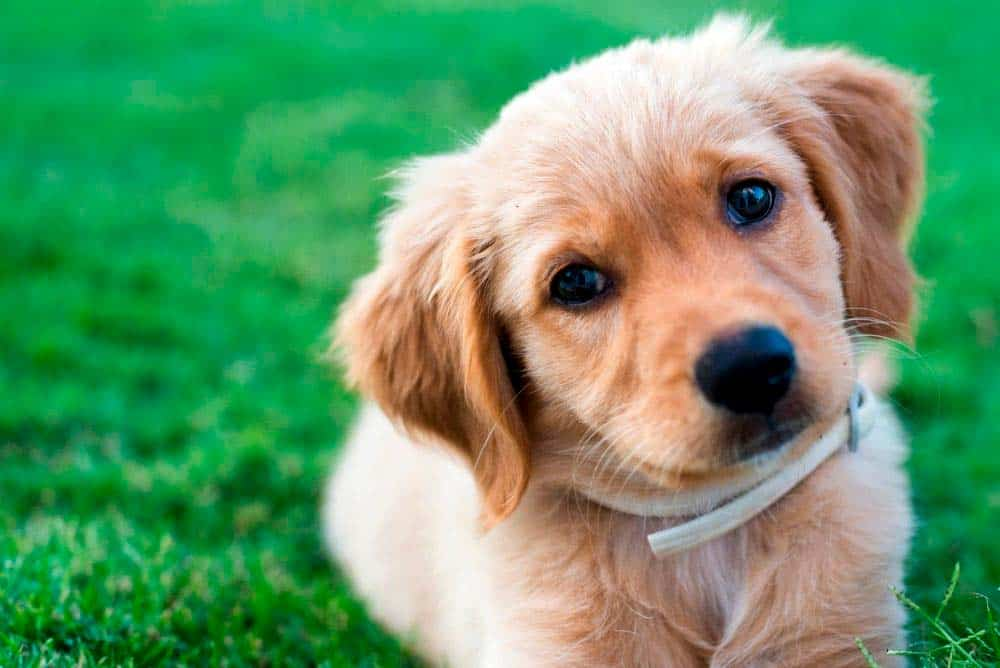 What it cost to buy a Golden Retriever from a good breeder?