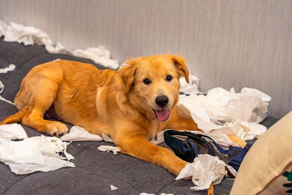 Golden retriever ripping up papers and making a mess.