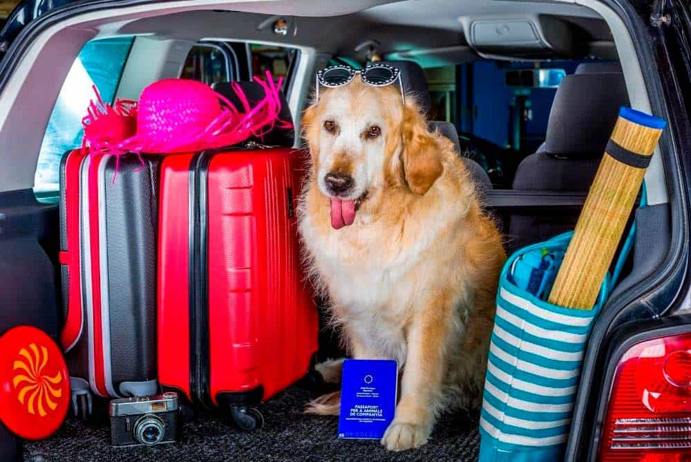 Flying with your golden retriever