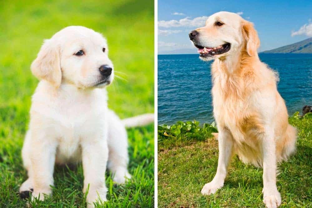 A golden retriever puppy size comparison to an adult golden retriever