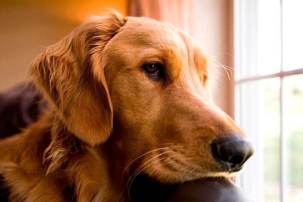Golden retriever looking out a window at home.
