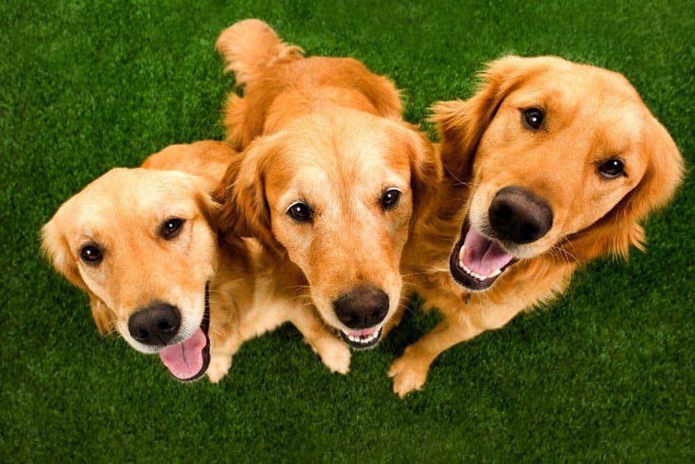 Why Golden Retrievers are the best dogs!