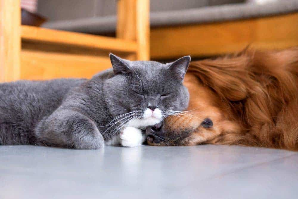 Golden retrievers get along well with other animals in your household, such as cats.