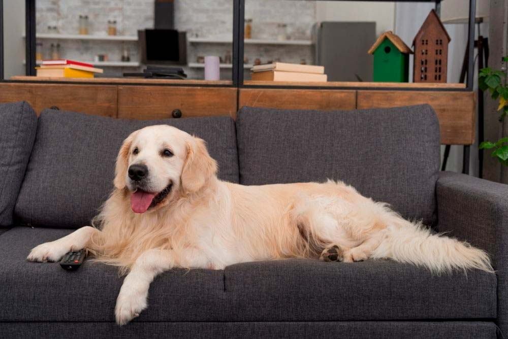 Golden retriever on the couch.