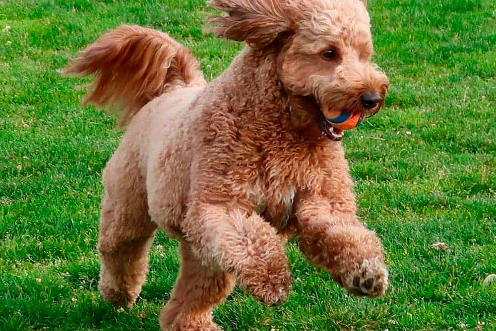 Mini Goldendoodle running with a ball in his mouth.