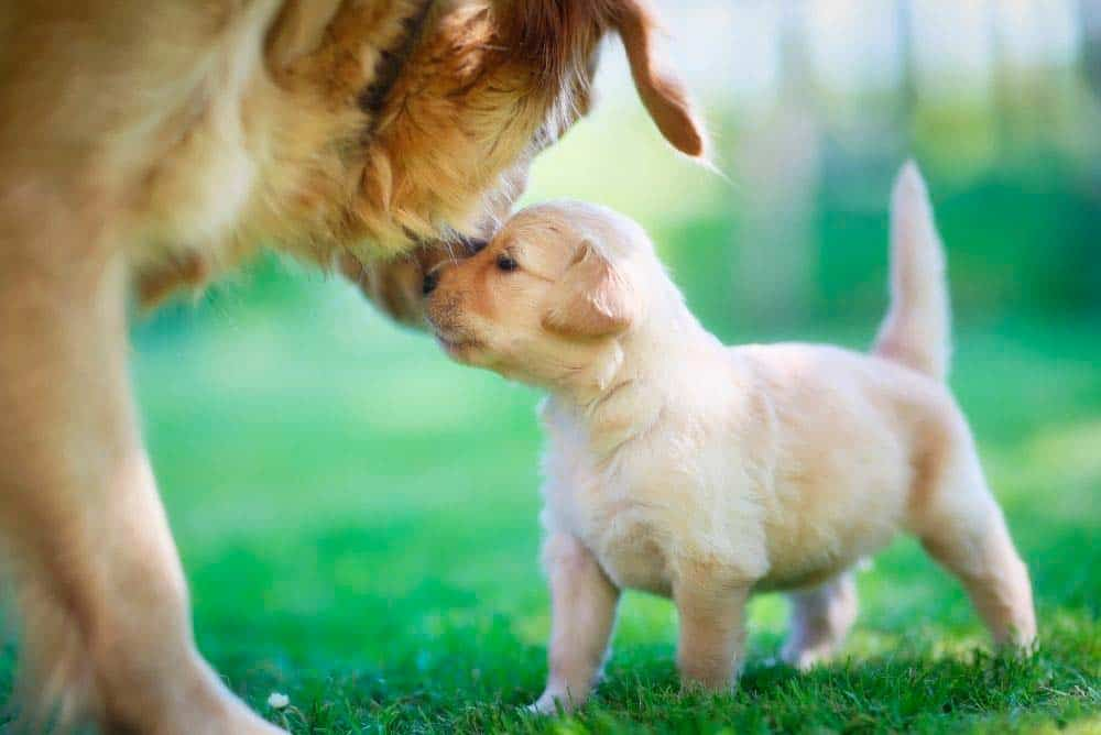 Golden retriever mother and puppy.