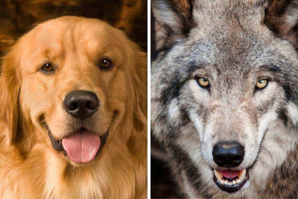 Are golden retrievers related to woves.