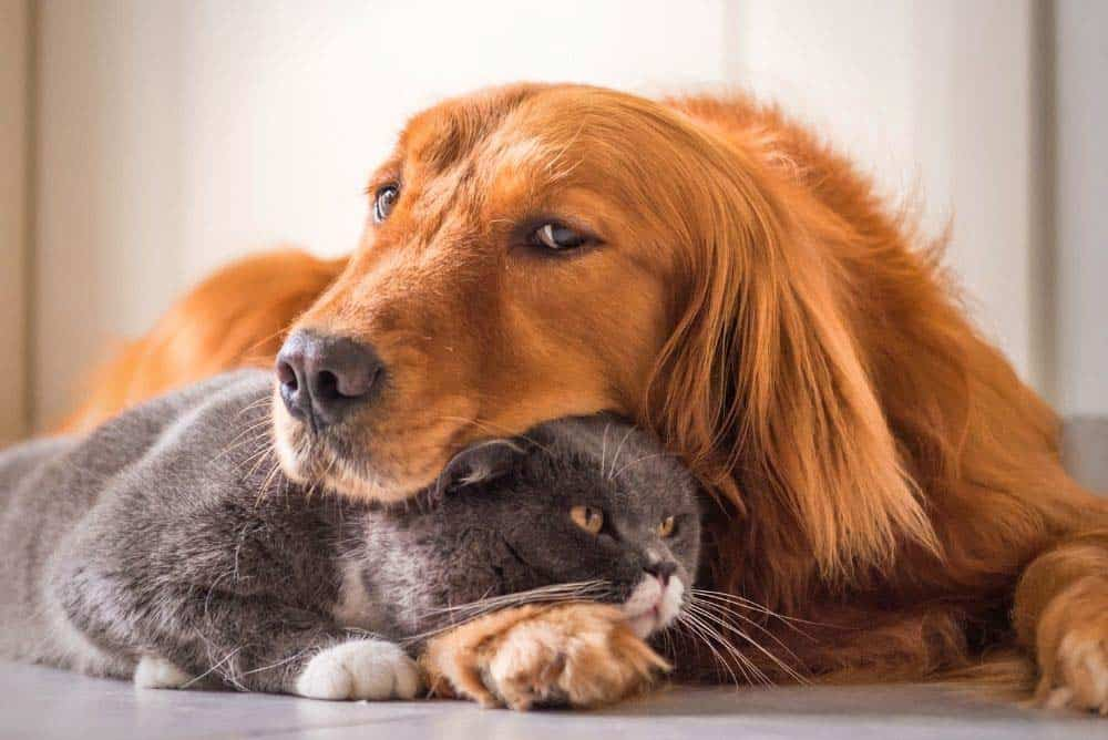 A golden retriever and his cat.