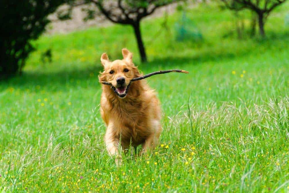 Think of your favorite memories of your Golden Retriever.