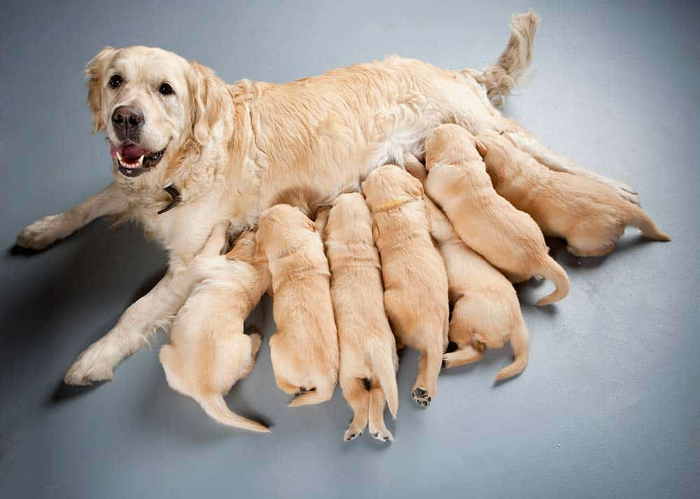 Female Golden Retriever with puppies.