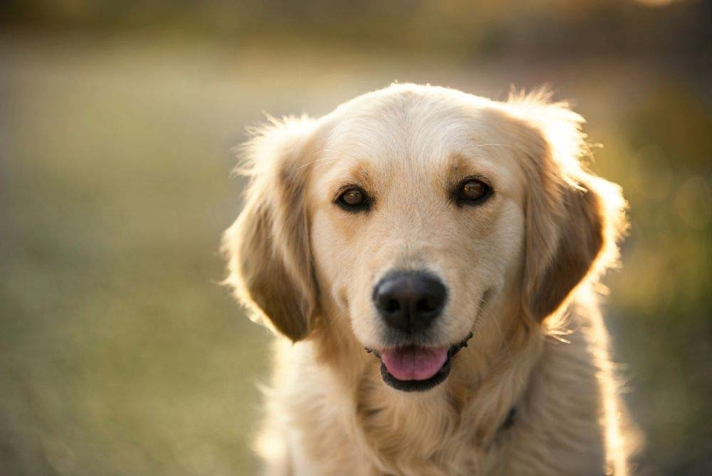 Golden retriever with light colored coat.