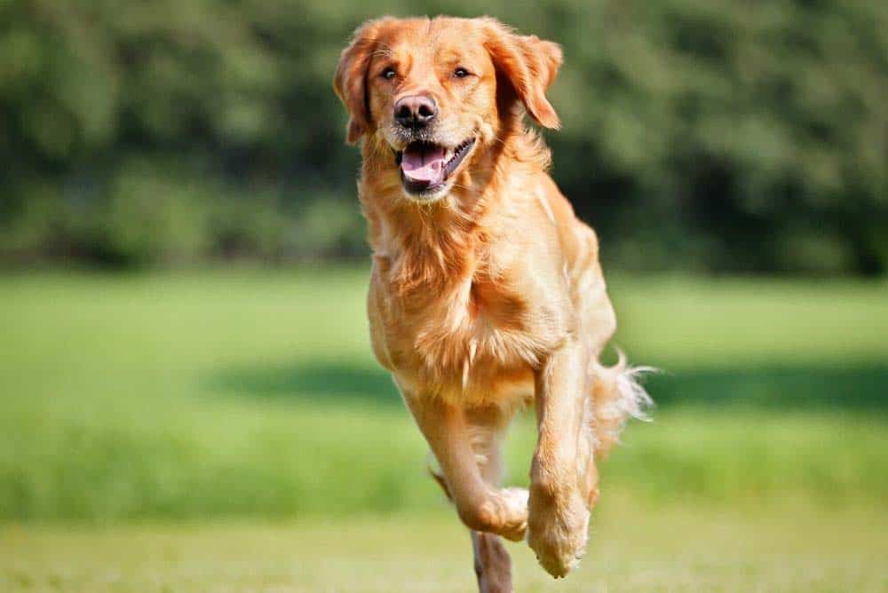 How old can a golden retriever live?