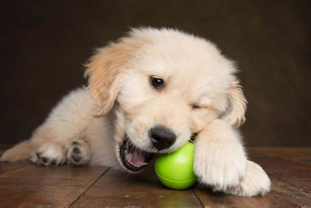 How to stop your golden retriever puppy from biting.
