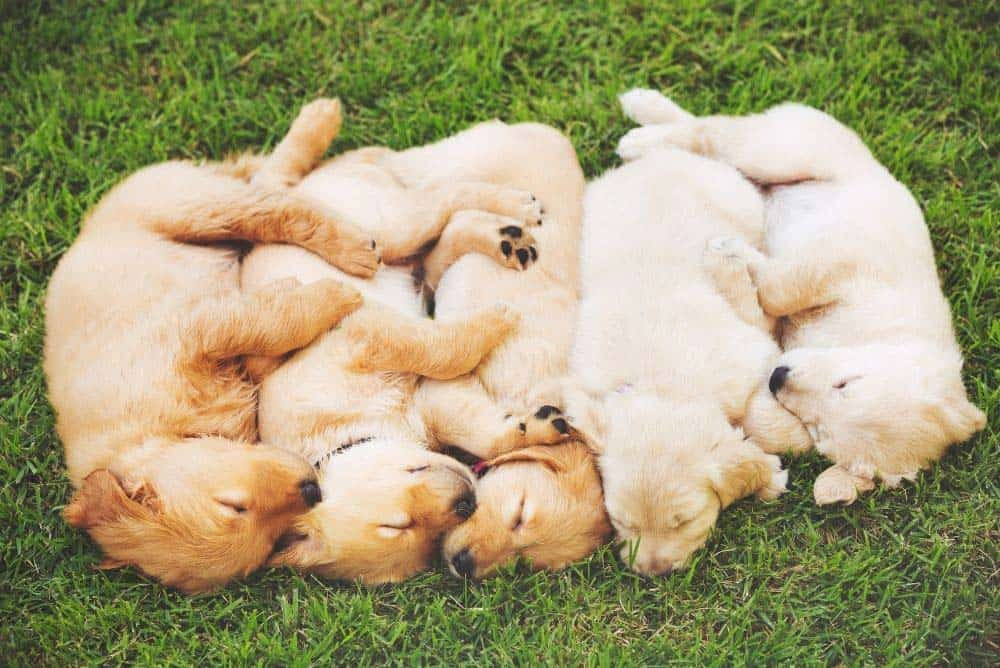 Golden Retriever puppies are actually born with their undercoat. They grow their long hair out over the top as they get older.