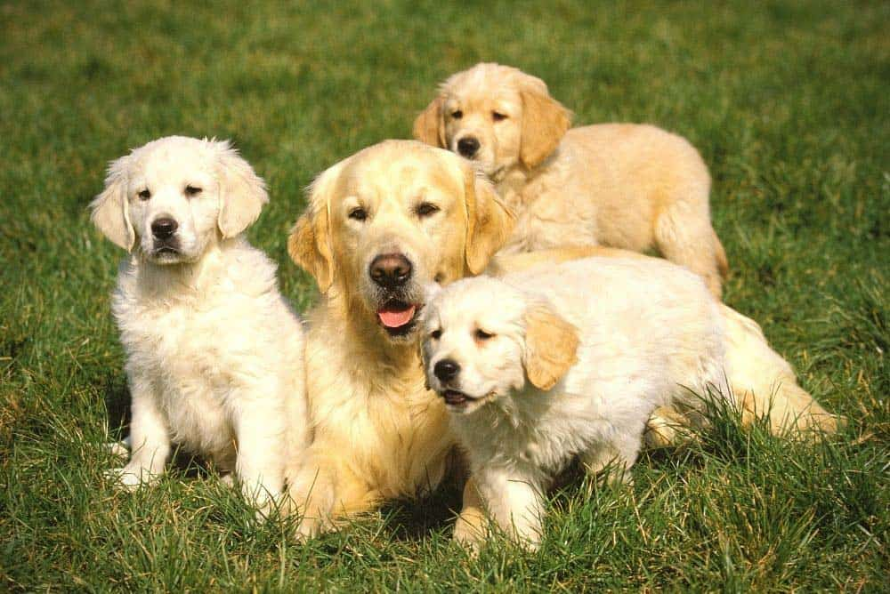 Female Golden Retriever with her puppies.