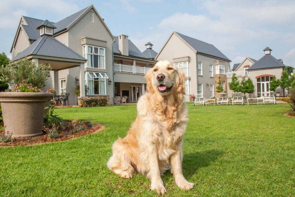 Are Golden retrievers protective of their homes and owners?