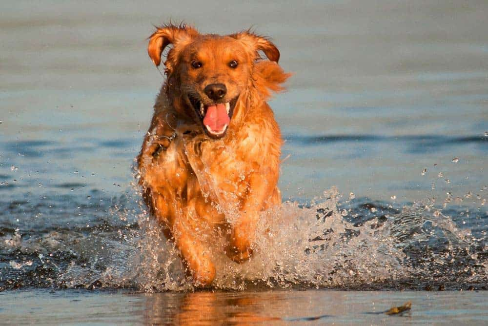 Most but not all Golden Retrievers love the water!