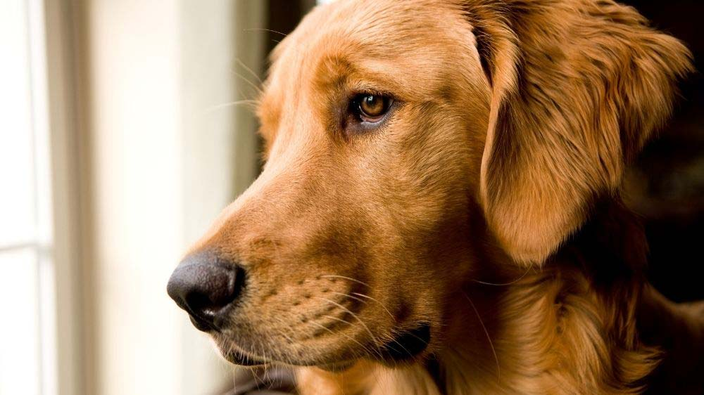 How long can a golden retriever be left home alone.