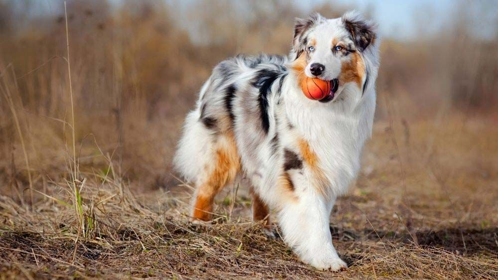 An Australian Shepherd dog with a ball in his mouth.