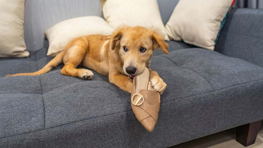 A Golden Retriever puppy chewing on a shoe.