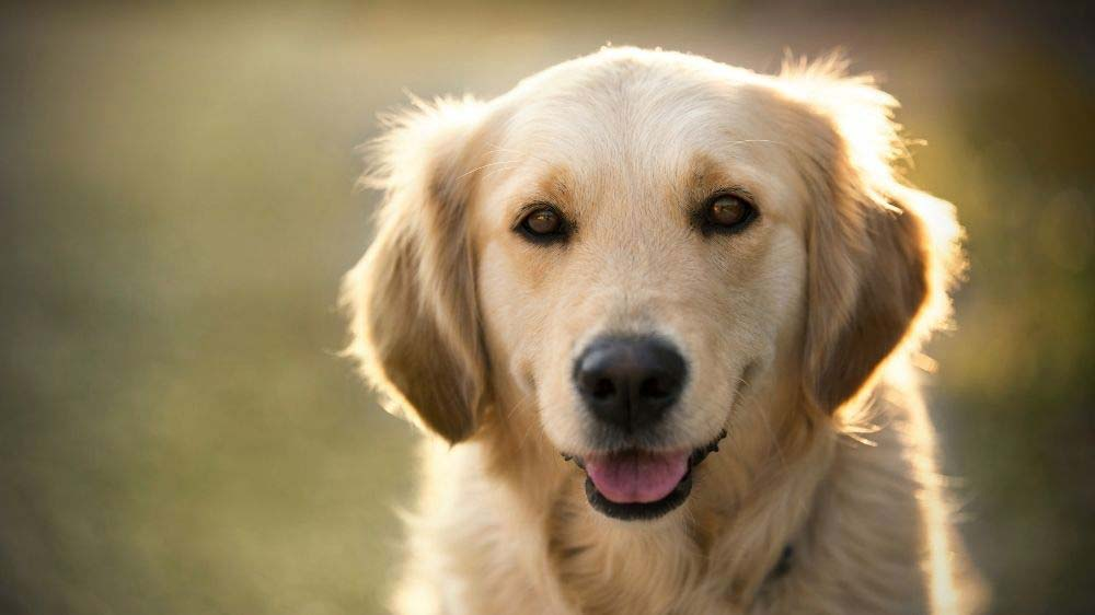 How to decide if a Golden Retriever is the right dog for you.
