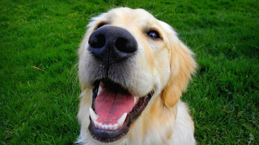 Why does my golden retriever grunt and groan?