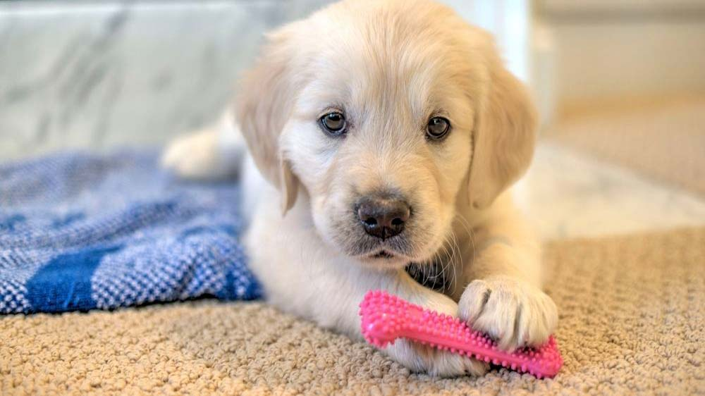 How long does it take to train a golden retriever puppy?