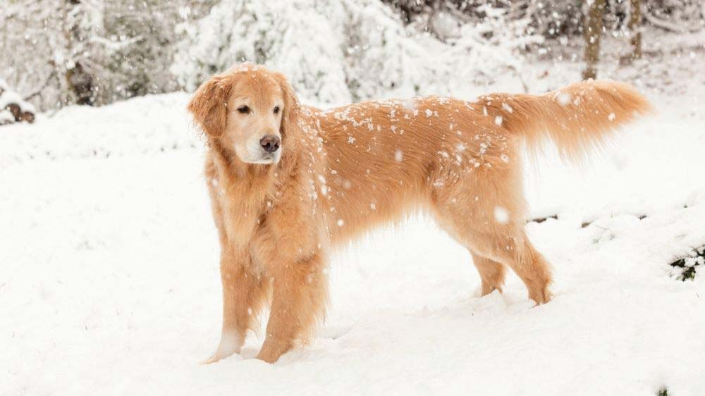 How long can a golden retriever safely play in the snow?
