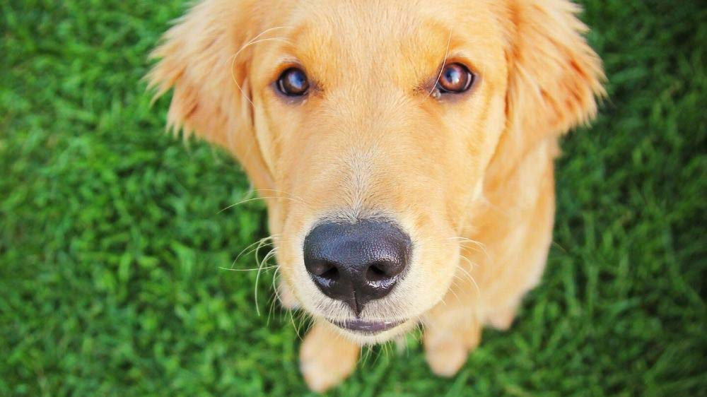 The best age to spay or neuter a golden retriever.