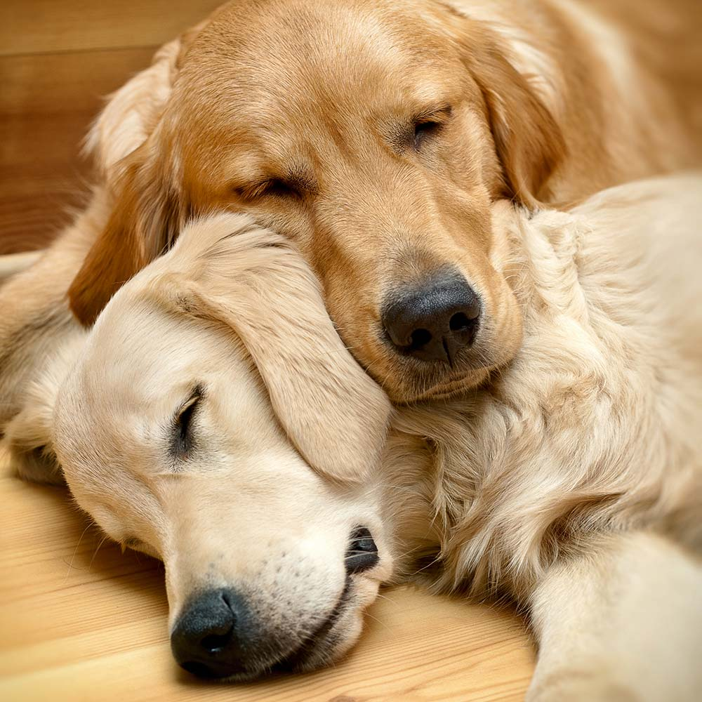 Two Golden Retrievers sleeping on each other.