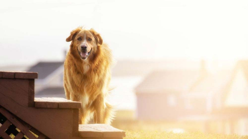 Are stairs bad for golden retrievers?