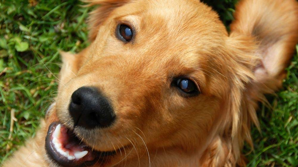 Why are golden retrievers so cute and lovable?