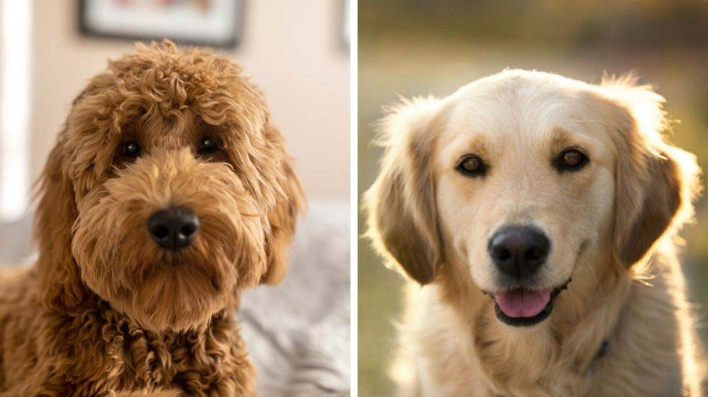 Goldendoodle vs Golden Retriever: Which is the best dog?
