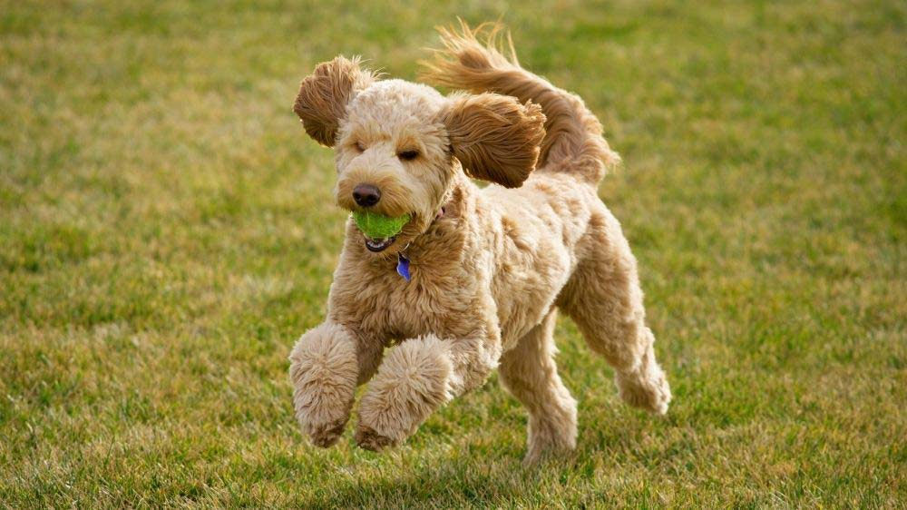 A Goldendoodle running with a tennis ball.