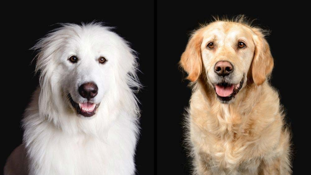 Great Pyrenees vs Golden Retriever: Which dog's better?