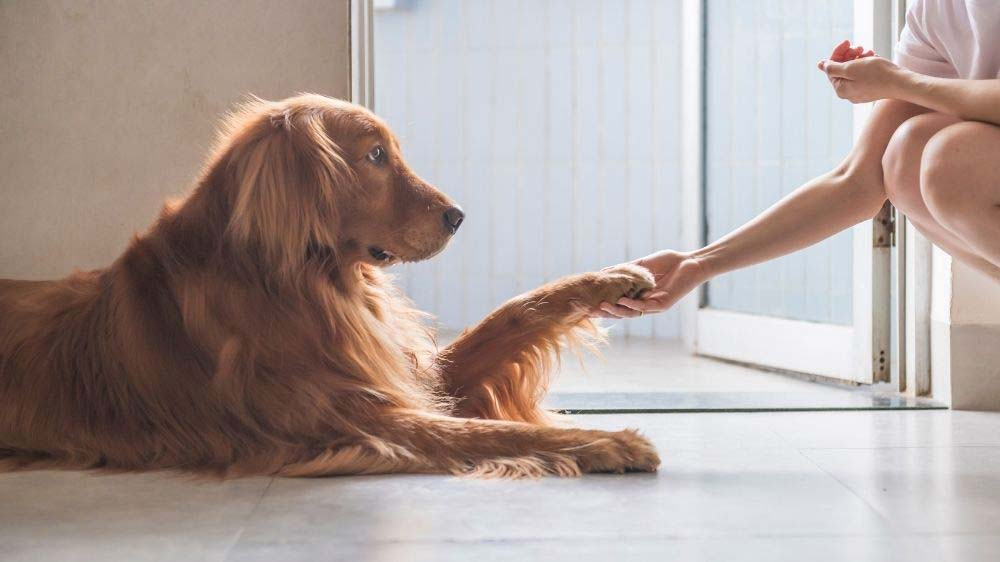 Goldens love to put their paw on their owners.