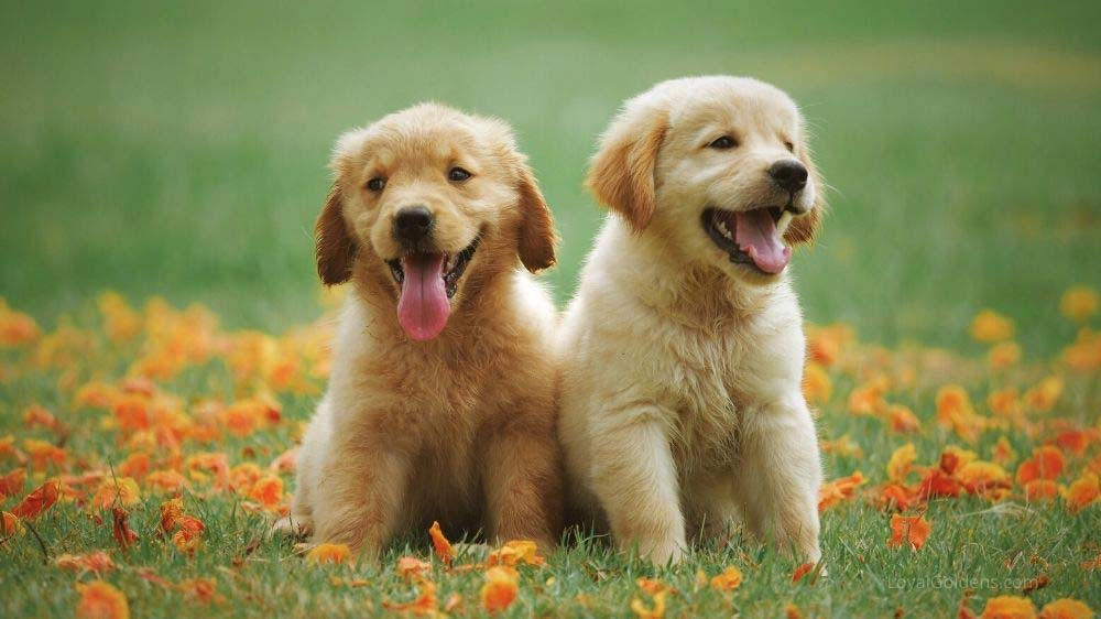 Two golden retriever puppies will grow at different rates. Check out this growth chart.