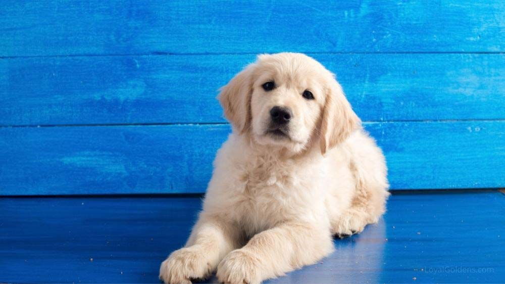 Is there such a thing as a White Golden Retriever? Introducing the English Cream Golden Retriever.